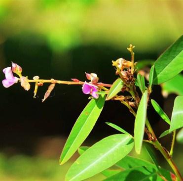 Günəş işığı ilə rəqs edən bitki: desmodium girans.jpg