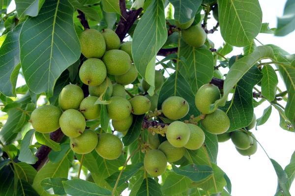 Qoz ağacı necə aspirin istehsal edir?.jpg