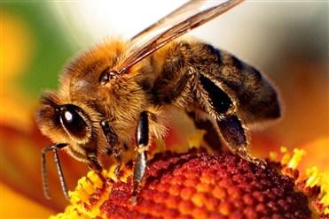 Arıların yaradılış xüsusiyyətləri tibb dünyası üçün ilham mənbəyinə çevrilib.jpg