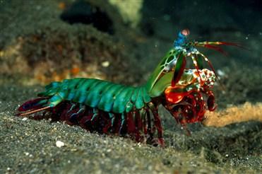 Mantis krevetinin ölümcül zərbə mexanizmi.jpg